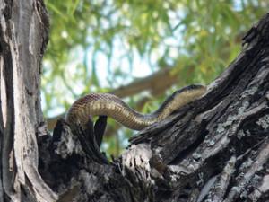 Texas rat snake, may 18 2013