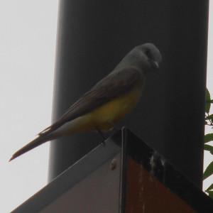 western kingbird firewheel town centre garland texas may 29 2013