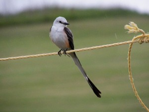 scissor tailed flycatcher june 6 2013