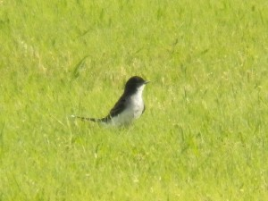 eastern kingbird at bob woodruff park on june 7 2013