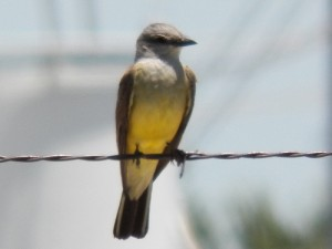 western kingbird, clark high school, june 8 2013
