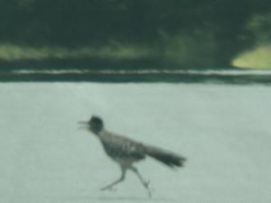 roadrunner at atoka lake 6 22 13