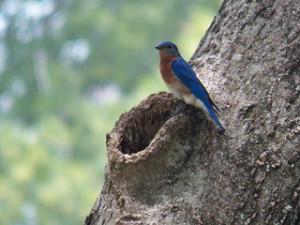 Bluebird 320