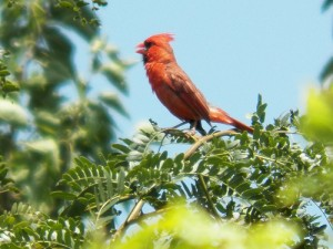 Northern Cardinal, Muddy Creek Preserve, June 26, 2013