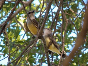 2 western kingbirds