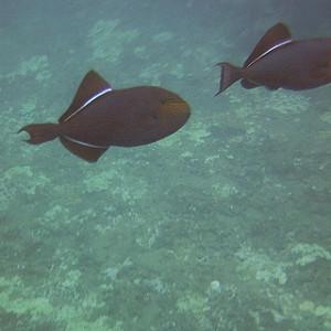 surgeonfish kauai na pali coast 2013
