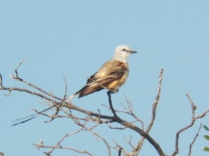 scissor-tailed flycatcher in bethany lakes park