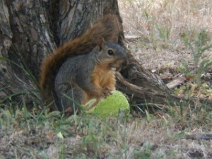 squirrel with osage orange