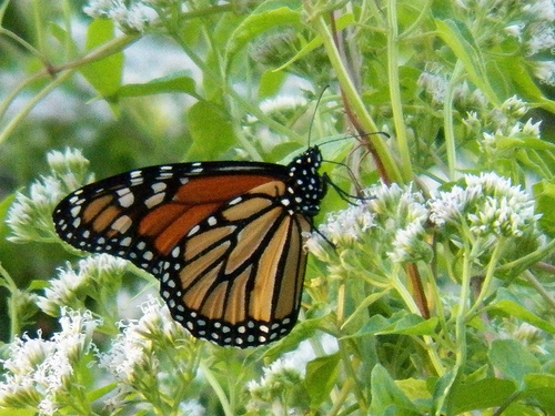 monarch, murphy city park, texas, september 30, 2013