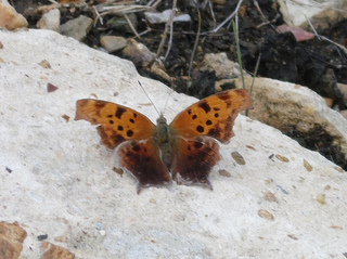 question mark butterfly, riverfront park, camden, arkansas