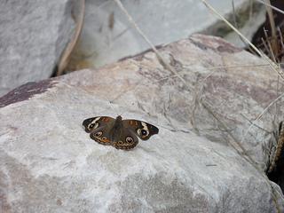 buckeye butterfly on a rock at gurdon pond 10 2013