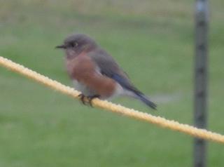 bluebird in breckinridge park, richardson texas