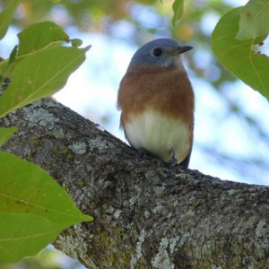 eastern bluebird breckinridge park october 22 2013