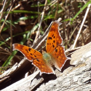 eastern comma at hagerman november 2 2013