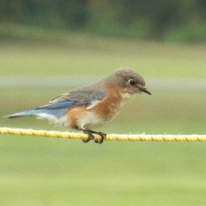 eastern bluebird breckinridge park, richardson, texas