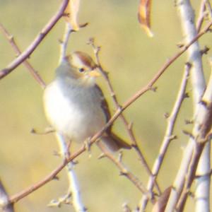 rufous-crowned sparrow from kaweah oaks preserve november 19 2013