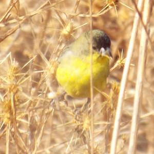 lesser goldfinch, kaweak oaks preserve november 19 2013