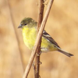 lesser goldfinch, kaweak oaks preserve, near Farmersville, CA, november 19 2013