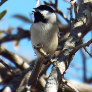 carolina chickadee singing, 12 23 2013