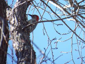 Christmas Eve 2013 red-bellied woodpecker, breckinridge park