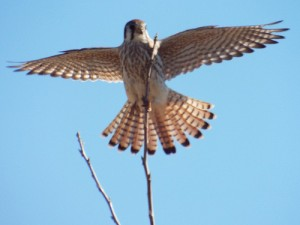 American kestrel with wings out-stretched, allen station park, allen, january 5 2014