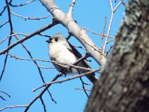 Tufted titmouse on a warm January 10 2014, Towne Lake Park, McKinney, Texas
