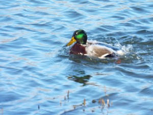 mallard duck swimming towne lake park january 11 2014