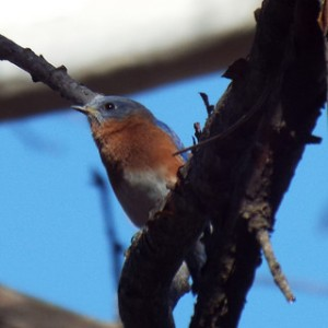 eastern bluebird 1 19 14 mckinney community center trail