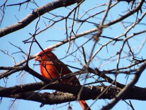 northern cardinal 1 19 2014