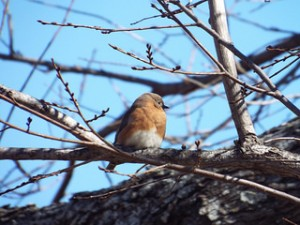 eastern bluebird murphy city park 1 20 2014