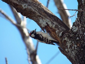 downy woodpecker 1 25 2014 watters creek trail