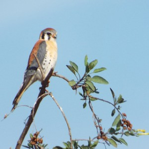 American kestrel, fairview park, costa mesa, california 1 27 2014
