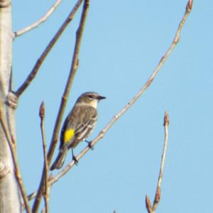 yellow-rumped warbler, fairview park, costa mesa ca 1 27 2014