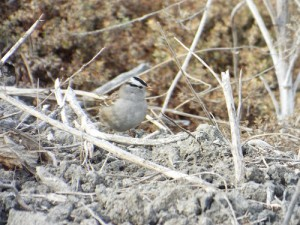 white-crowned sparrow, Alviso Slough Trail, 2 2  14
