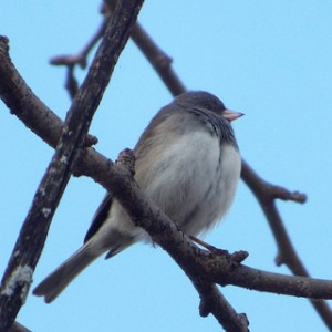 dark-eyed junco, Towne Lake Park, McKinney, Texas 2 8 2014