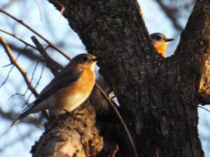 two bluebirds 2 13 14