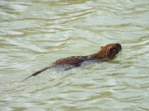 Swimming nutria in Spring Creek, Plano, Texas 2 15 2014