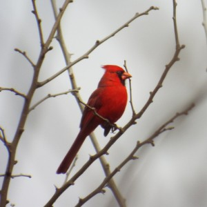 northern cardinal, GBBC,  Trinity Trail, 2 16 2014