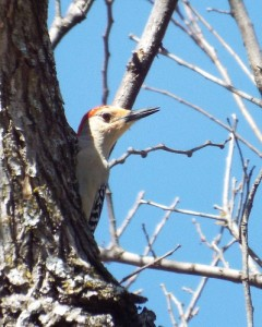 red bellied woodpecker, 2 21 2014