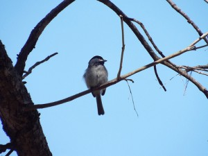 carolina chickadee, breckinidge park richardson texas february 22 2014