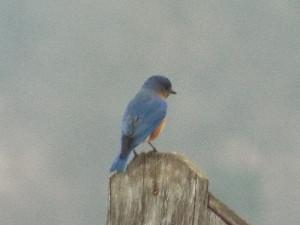 eastern bluebird contemplating