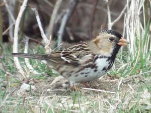 harris' sparrow, collin county, texas 2 23 2014