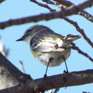 Yellow-rumped warbler, Chisholm Trail, February 23, 2014