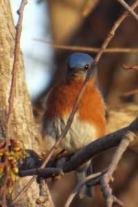 eastern bluebird 2 28 2014