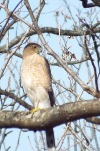 cooper's hawk, connemara meadow preserve