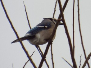 blue jay in Glendover park 3 1 2014