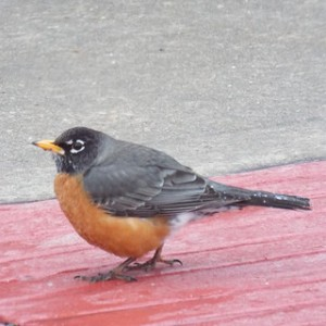american robin red carpet