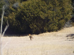 coyote in breckinridge park