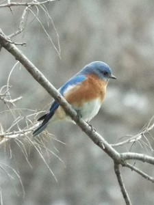eastern bluebird 3 5 2014