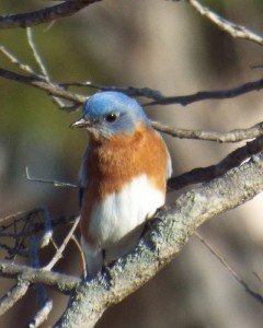 eastern bluebird breckinridge park richardson texas 3 11 2014